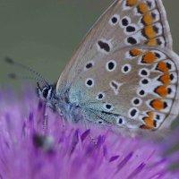 бабочка :: Peet