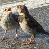 воробушки кормят друг друга ) :: Елена Осина