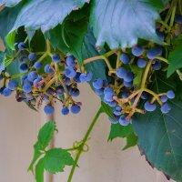 Московский виноград :: Наталья Rosenwasser