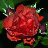 Роза :: Олеся