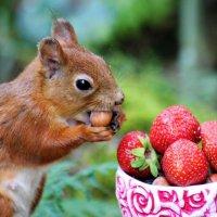 Клубничка вкусная...а орешек вкуснее ! Кушает то,что любит! :: Ольга Митрофанова