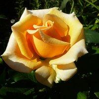 Роза в августе на даче :: Лидия Бараблина