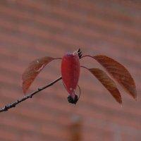 Забытая ягодка :: Syntaxist (Светлана)