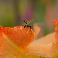 Вишнёвая муха :: Юлия Ершова