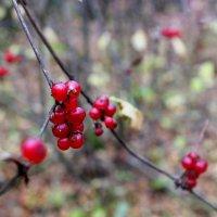 Зимняя ягода :: Дмитрий (Горыныч) Симагин