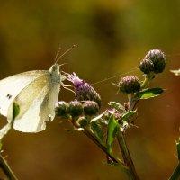 и снова бабочки..77 :: Александр Прокудин