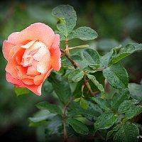 цветы запоздалые :: Олег Лукьянов