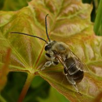 Золотая пчела :: dana smirnova