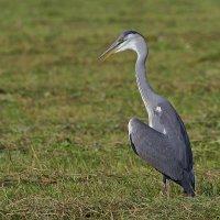 птицы-современные потомки динозавров :: Maxim Lanin
