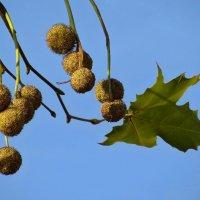 Плоды платана, небольшого размера орехи, остаются висеть на ветвях всю зиму :: Татьяна Смоляниченко
