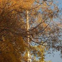 Шпиль Петропавловского собора сквозь осеннюю листву :: Ольга И