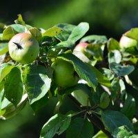 Наливающиеся яблочки :: Алексей К