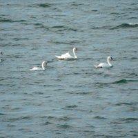 Лебеди :: Natalia Harries
