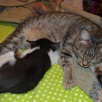 Кошка мама и её дитятко...Крепкий сон,здоровыё котята... :: Георгиевич