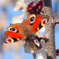 опять про бабочек...29- глаза павлиньи :: Александр Прокудин