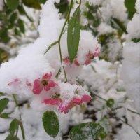 Первый снежок :: Светлана Дунаева
