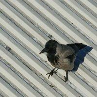 Просто ворона :: Светлана Карнаух