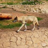 Волк :: Дмитрий (Горыныч) Симагин