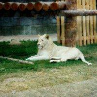 Белый лев :: Дмитрий (Горыныч) Симагин