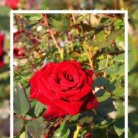 Роза в Анапе... :: Александр Широнин