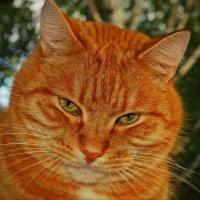 Очередной портрет Рыжего. :: Galina Serebrennikova