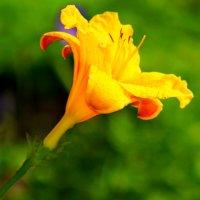 Жёлтый лилейник :: Евгений