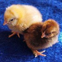 Цыплятки. :: сергей