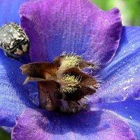 Макро цветка дельфиниума и жука оленка :: Лидия Бараблина
