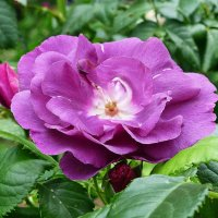В сиреневом цвете :: Лидия Бусурина