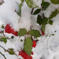 Снег и розы :: Светлана Дунаева