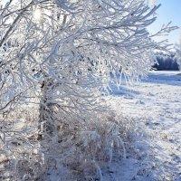 Белые  ветви :: Геннадий Супрун