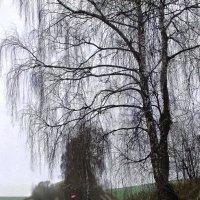 """""""Березова дорога в ранковий туманий ранок"""" :: Ростислав Кухарук"""