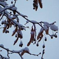 Зимняя липа :: Ольга И