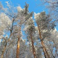 В лесу декабрьском... :: Андрей Заломленков