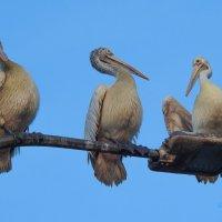 Пеликаны отдыхают. :: Вадим Синюхин