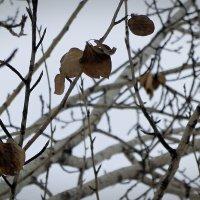 Последний лист осенний... Нет, зимний. :: Зинаида Каширина