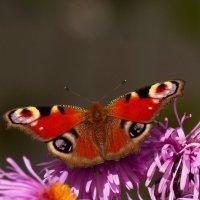 опять бабочки...33 :: Александр Прокудин