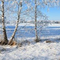 Белые  берёзки  в  белом  ноябре :: Геннадий Супрун