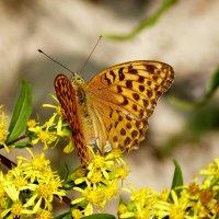опять бабочки...50 :: Александр Прокудин