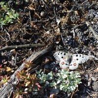 Бабочка Пролог,из Красной Книги.Очень редкая. :: Андрей Хлопонин