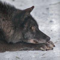 Черный волк :: Владимир Габов