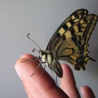 Бабочка :: Виктор Новиков