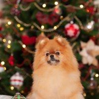Новогодние собаки :: Дмитрий .