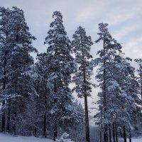 Обожаю снежные сосны :: Зинаида Каширина
