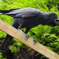 Большеклювая ворона :: Вадим Синюхин