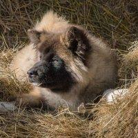 Собака на сене. :: Николай