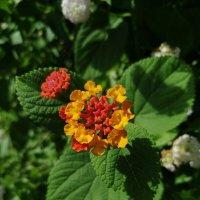 Аленький цветочек. :: ОКСАНА ЮРЬЕВНА ШВЕЦ