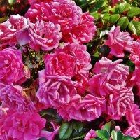 Цветущие розы на солнце :: Aida10