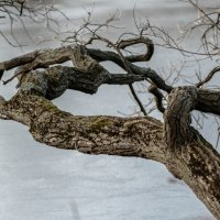 Ветка лугового дуба :: Олег