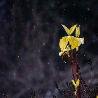Ветка жасмина в снежную погоду :: Cissa Andebo